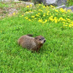 macomb county woodchuck removal cmc animal control