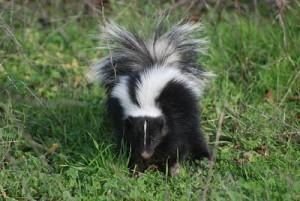skunk7
