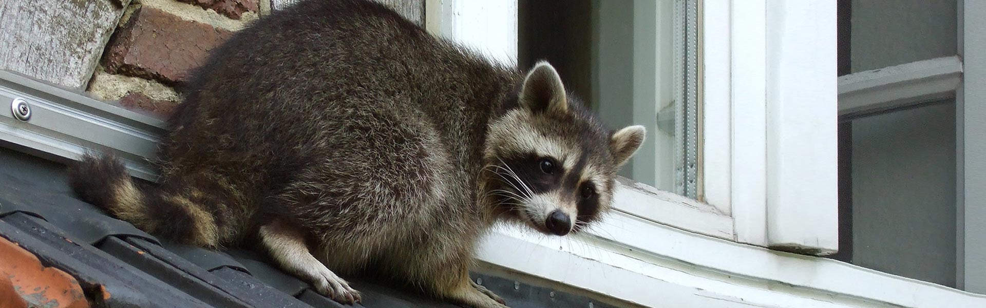 Macomb County Raccoon Control