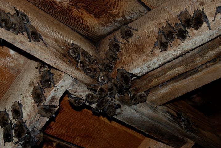 Macomb County Bat Exclusion