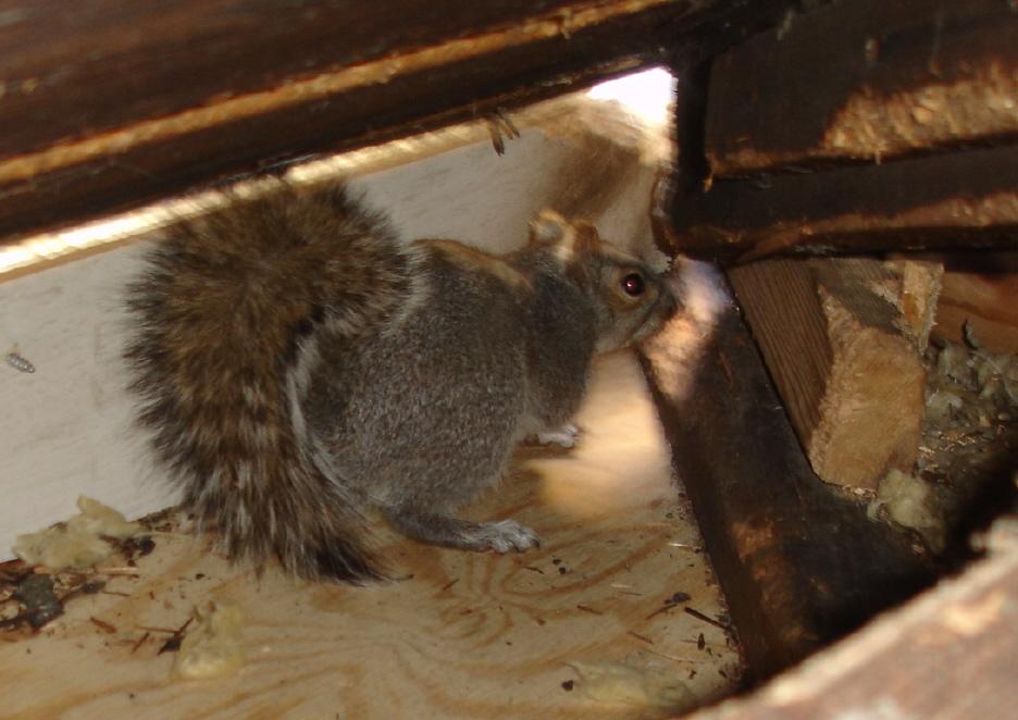 squirrel removal macomb county mi