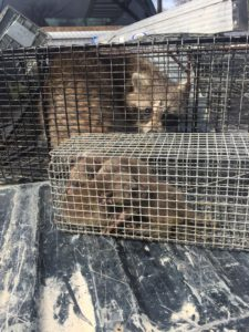 Macomb County Raccoon Removal Service