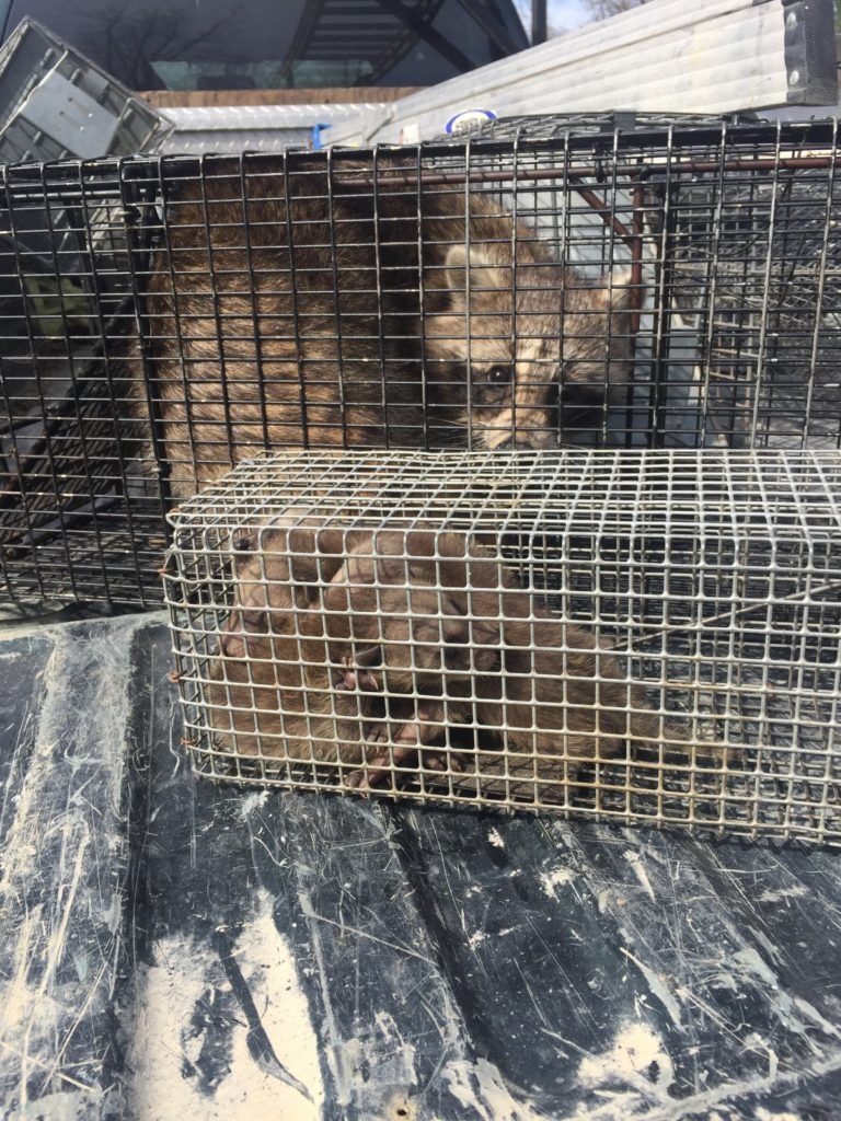 Macomb County Raccoon Trapping