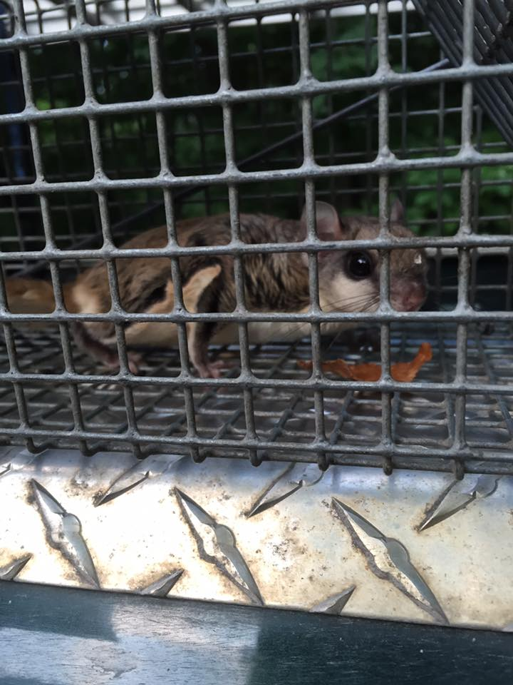 Michigan Flying Squirrel Removal