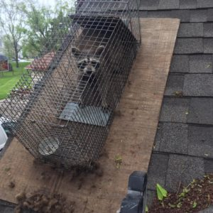Oxford MI Raccoon Removal
